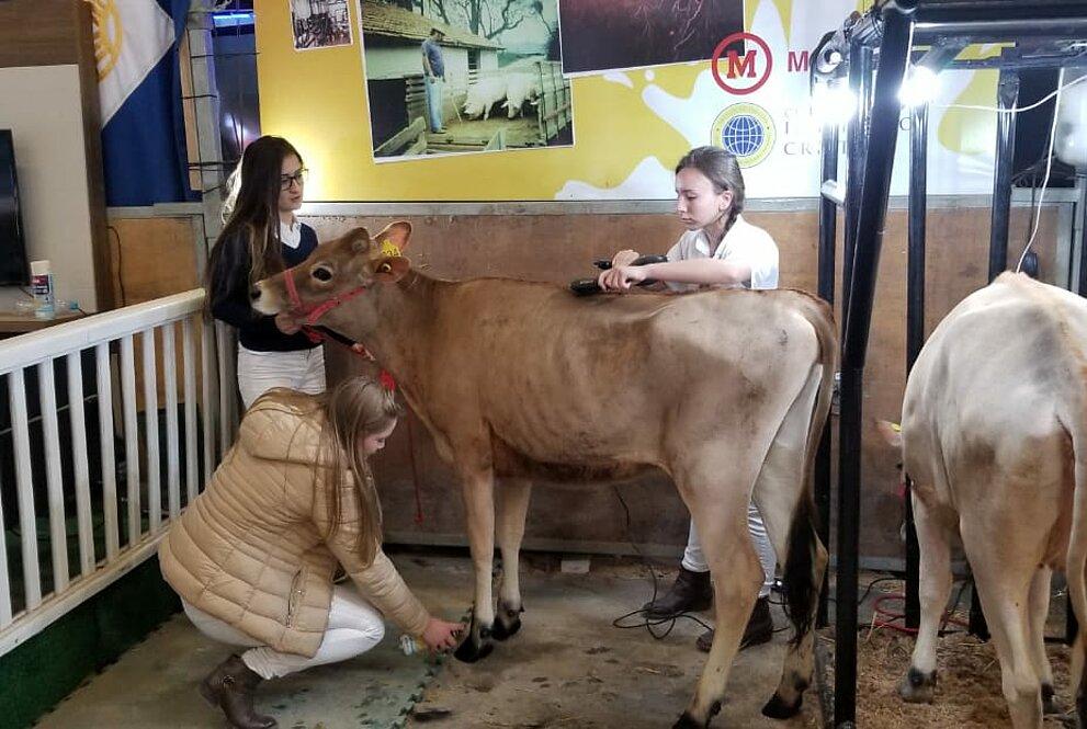 Alunos cuidam de vaca